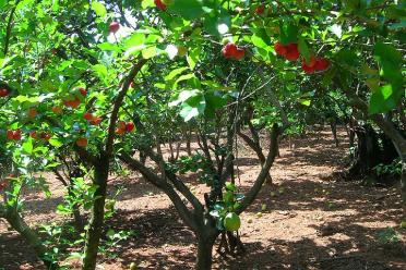 Acérola bio arbre fruit vitamine C complément aliementaire