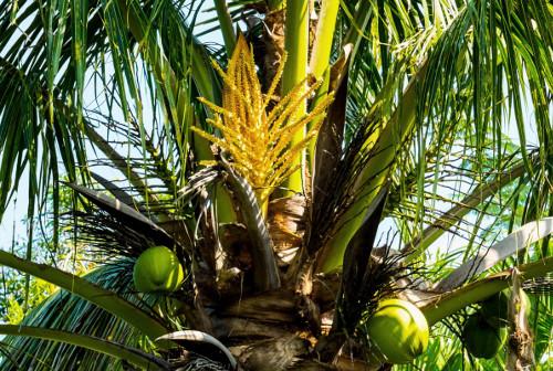 Le sucre de coco est issu directement de la fleur de coco.